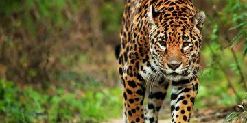 Campaña sobre el Jaguar