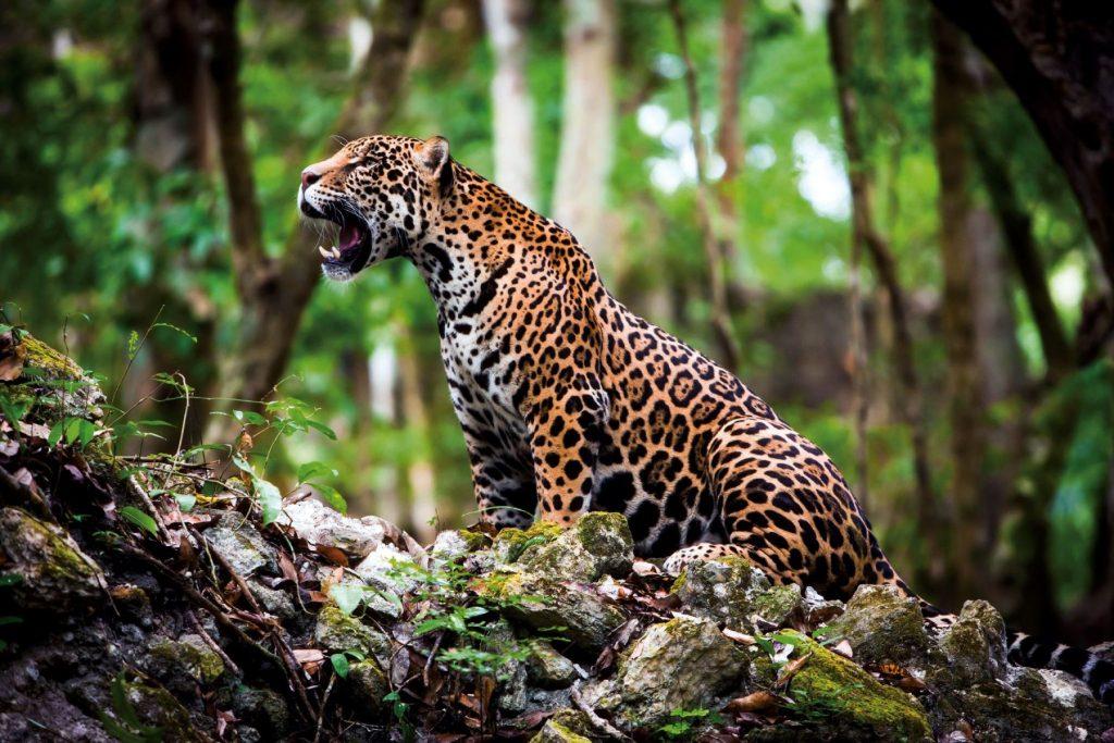 Campaña sobre la importancia del Jaguar para concientizar a la gente